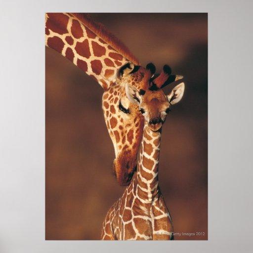 Jirafa adulta con el becerro (camelopardalis del G Poster