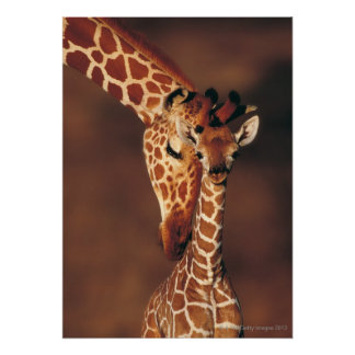 Jirafa adulta con el becerro (camelopardalis del G Póster