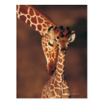 Jirafa adulta con el becerro (camelopardalis del tarjeta postal