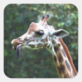 Jirafa africana con la lengua que cuelga hacia pegatina cuadrada
