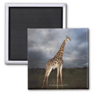 Jirafa (camelopardalis del Giraffa) Imán De Frigorífico