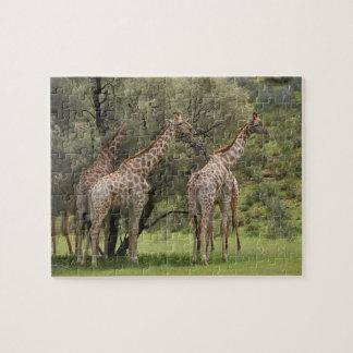 Jirafa, camelopardalis del Giraffa, Kgalagadi 2 Puzzle Con Fotos