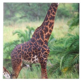 Jirafa, camelopardalis del Giraffa, Tanzania Áfric Azulejo Cuadrado Grande