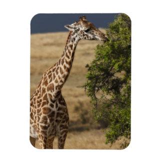 Jirafa de Maasai (jirafa Tippelskirchi) como 2 vis Imán