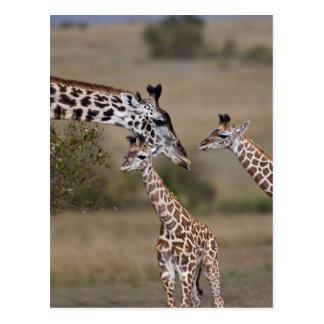 Jirafa de Maasai (jirafa Tippelskirchi) según lo Postales