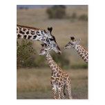 Jirafa de Maasai (jirafa Tippelskirchi) según lo v Postales