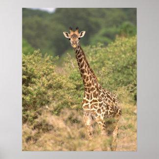 Jirafa del Kenyan Póster