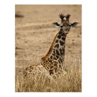 Jirafa del Masai, camelopardalis del Giraffa, desc Postales