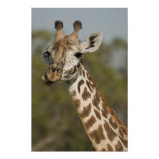 Jirafa del Masai, camelopardalis del Giraffa Impresiones Fotográficas