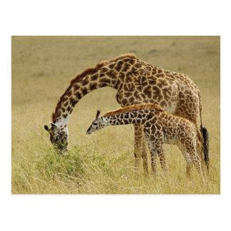 Jirafa del Masai de la madre y del bebé, Giraffa Postal