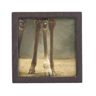 Jirafa del Masai, opinión de ángulo bajo de pierna Cajas De Regalo De Calidad