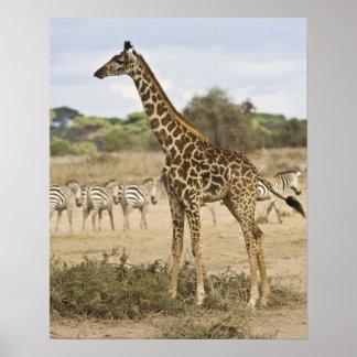 Jirafa del Masai y cebra común en Amboseli NP, Póster