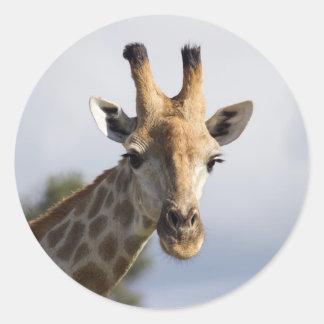 Jirafa en Botswana, África, pegatina