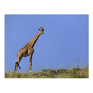 Jirafa en canto contra el cielo azul Giraffa Tarjetas Postales