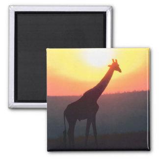 Jirafa en la puesta del sol imanes