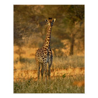 Jirafa juvenil, camelopardalis del Giraffa Posters