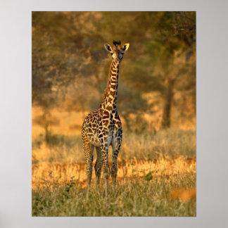 Jirafa juvenil, camelopardalis del Giraffa Póster
