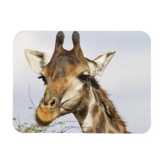 Jirafa, parque nacional de Kruger, Suráfrica Iman