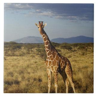 Jirafa reticulada, camelopardalis 2 de la jirafa azulejo cerámica