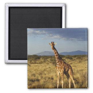 Jirafa reticulada, camelopardalis 2 de la jirafa imán cuadrado