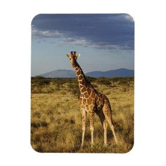 Jirafa reticulada, camelopardalis 2 de la jirafa iman rectangular