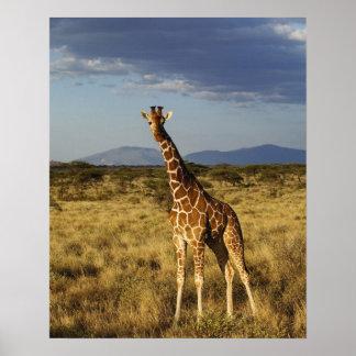 Jirafa reticulada, camelopardalis 2 de la jirafa poster