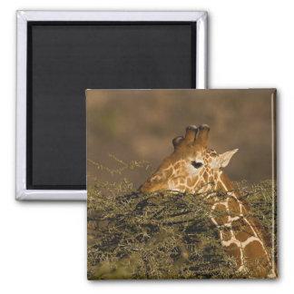 Jirafa reticulada, camelopardalis de la jirafa imán cuadrado