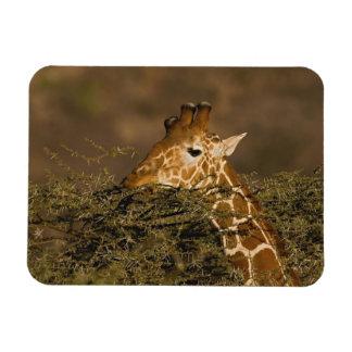 Jirafa reticulada, camelopardalis de la jirafa imanes rectangulares