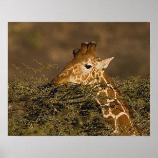 Jirafa reticulada, camelopardalis de la jirafa poster