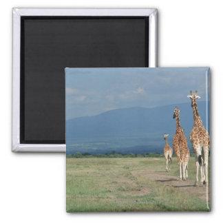 Jirafa reticulada (camelopardalis del Giraffa) 2 Imán Cuadrado