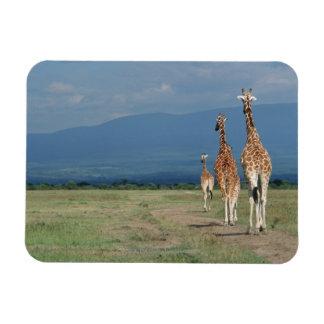 Jirafa reticulada (camelopardalis del Giraffa) 2 Iman Rectangular