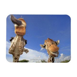 Jirafa reticulada (camelopardalis del Giraffa) 3 Imán De Vinilo