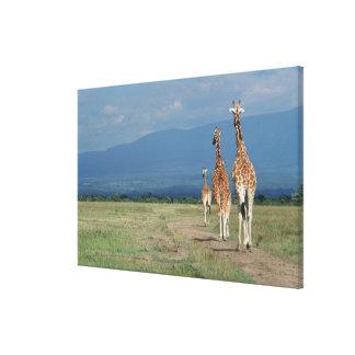 Jirafa reticulada (camelopardalis del Giraffa) 3 Impresión En Lienzo