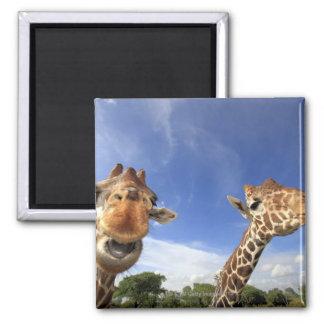Jirafa reticulada (camelopardalis del Giraffa) Imán Cuadrado
