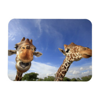 Jirafa reticulada (camelopardalis del Giraffa) Iman Rectangular