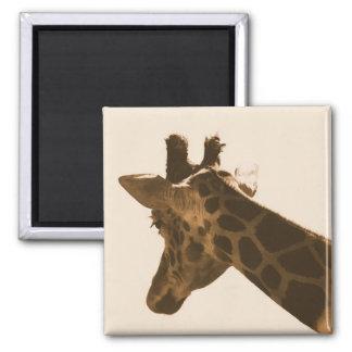 jirafa reticulada en imán de la sepia