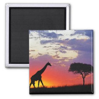 Jirafa silueteada en la salida del sol, Giraffa Imán Cuadrado