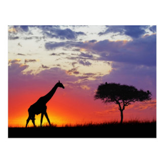 Jirafa silueteada en la salida del sol, Giraffa Postales
