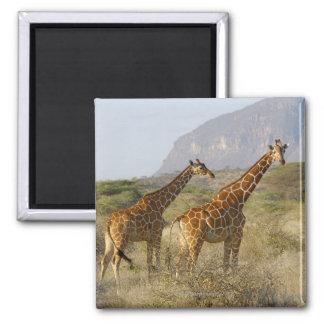 Jirafa somalí, jirafa reticulada, Giraffa Imán Cuadrado