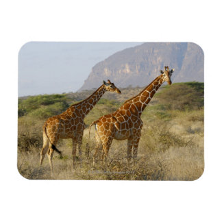 Jirafa somalí, jirafa reticulada, Giraffa Iman Rectangular