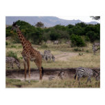 jirafa y cebra postal