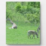 Jirafa y cebras que pastan durante el verano placa para mostrar