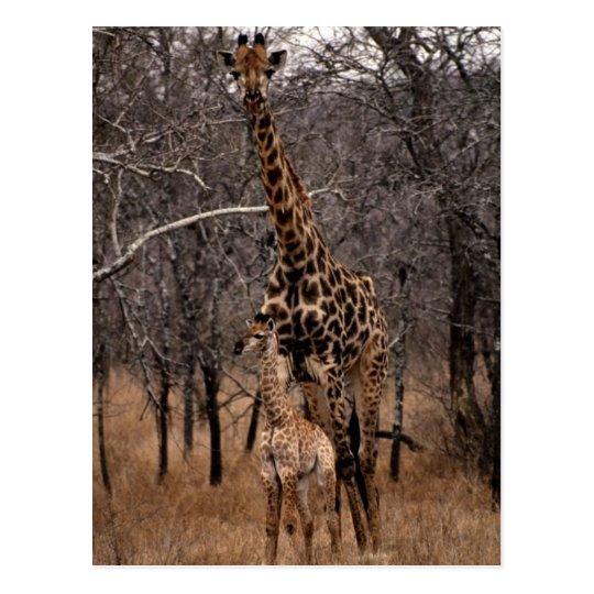 Jirafa y jirafa del bebé tarjetas postales
