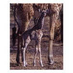 Jirafa y madre, Tanzania del bebé Posters