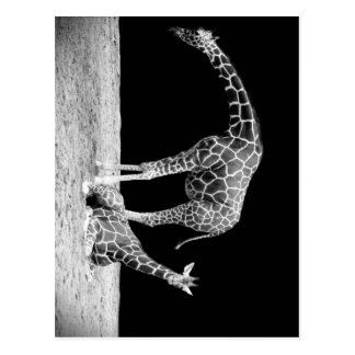 Jirafas blancos y negros dos jirafas postales
