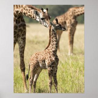 Jirafas del Masai, camelopardalis 2 del Giraffa Póster