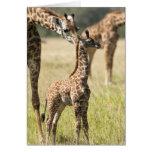 Jirafas del Masai, camelopardalis 2 del Giraffa Tarjetas