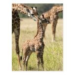 Jirafas del Masai, camelopardalis 2 del Giraffa Postal