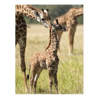 Jirafas del Masai, camelopardalis 2 del Giraffa Tarjeta Postal