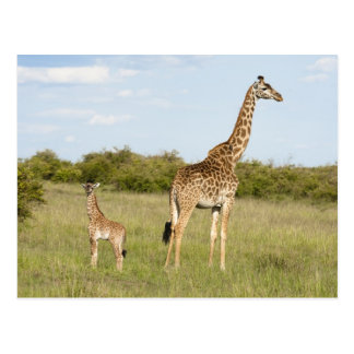 Jirafas del Masai, camelopardalis 3 del Giraffa Postal